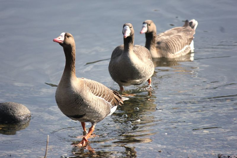 Animals In The Wild Water Animal Themes Bird Animal Wildlife Lake Day Nature No People Outdoors Swimming Close-up