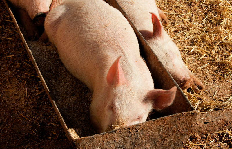 High Angle View Of Piglets At Farm