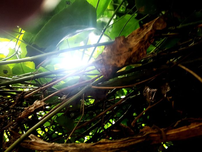 Sunlight Peeking Through Leaves Dried Leaves Green Color Rain Tree Greenhouse Lens Flare Close-up
