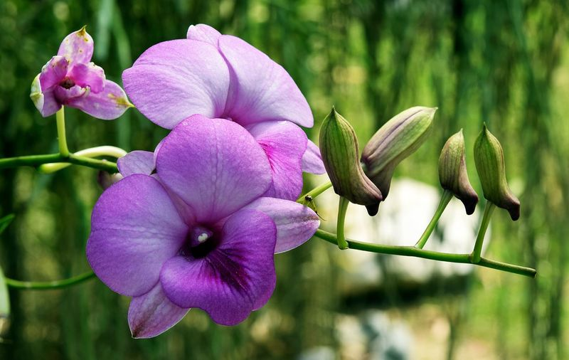 Orchid Rare