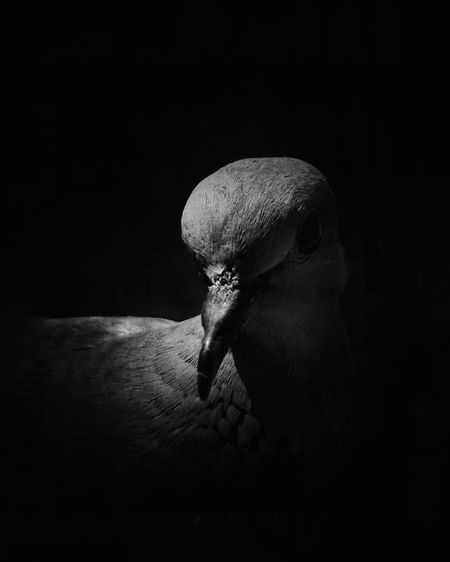 Close-up Black Background Bird With Attitude Nature Mobilephotography Bird Photography Honorphotography
