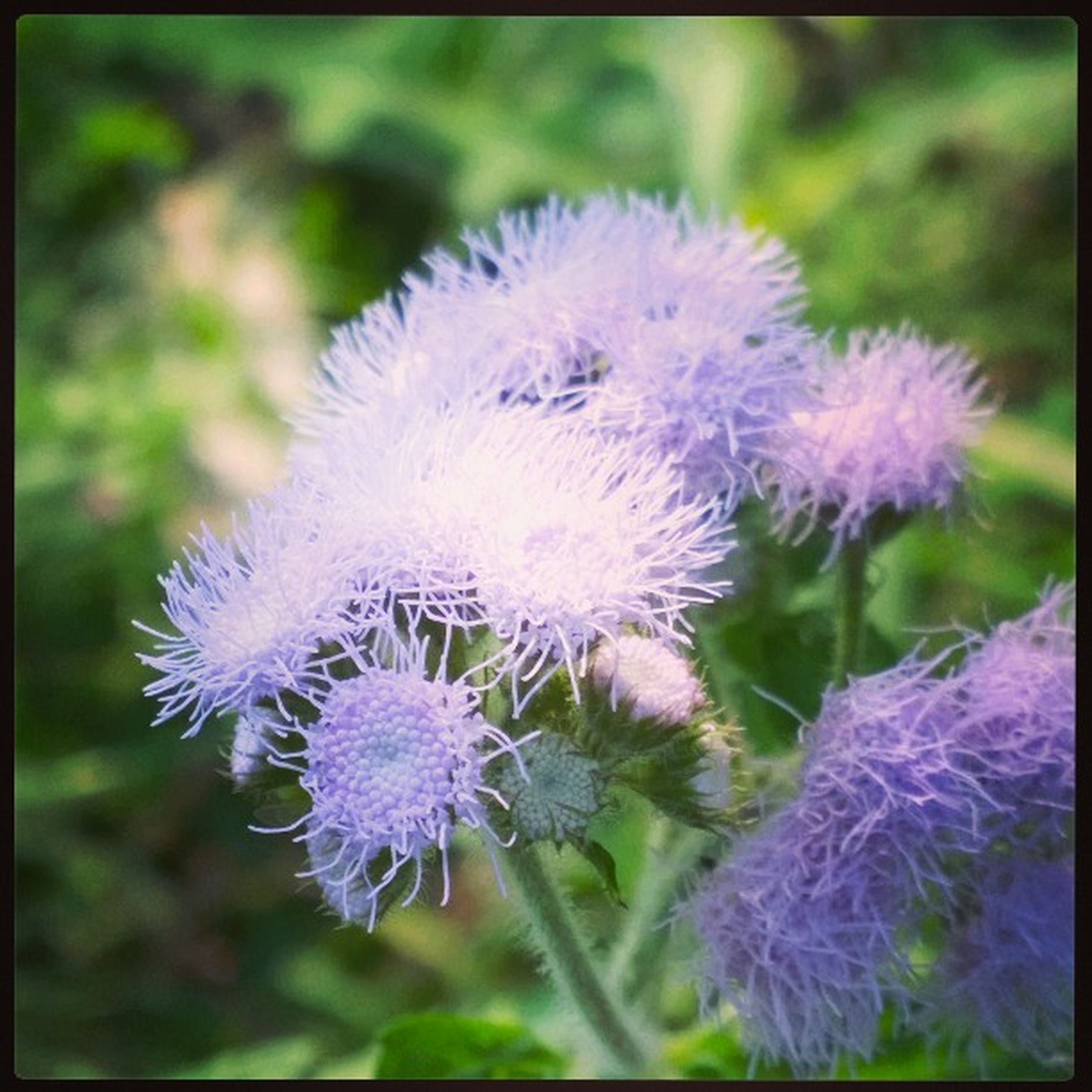 flower, purple, freshness, fragility, growth, focus on foreground, flower head, close-up, beauty in nature, nature, blooming, plant, petal, transfer print, auto post production filter, in bloom, day, outdoors, no people, selective focus