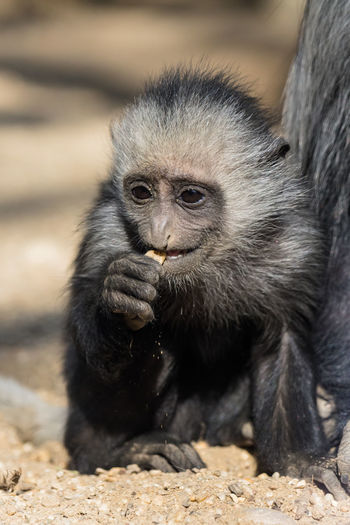 A sweet Black-and-white colobus African African Safari Animal Themes Animal Wildlife Animals In The Wild Baby Baby Animal Baby Animals Baby Black-and-white Colobus Black-and-white Colobus Colobus Monkey Guereza Mammal Monkey Monkeys Nature Primate Zoo Zoo Animals  Zoology