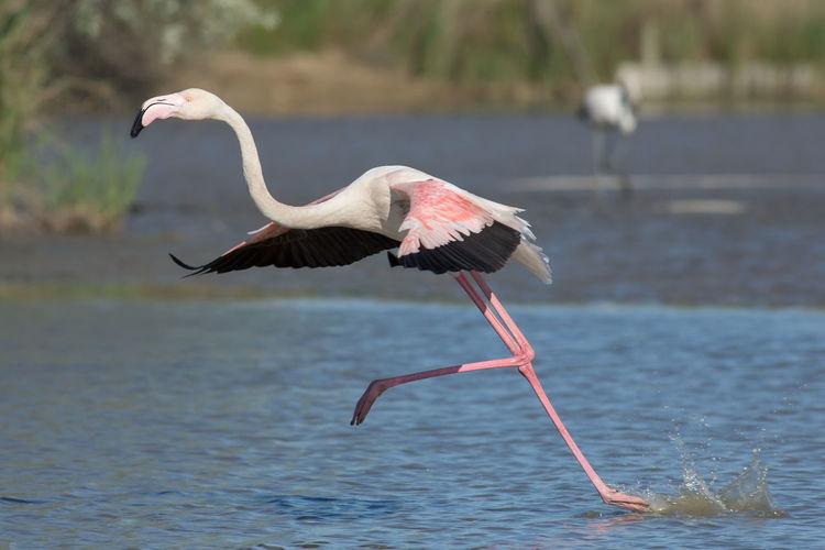 Flamingo running in lake