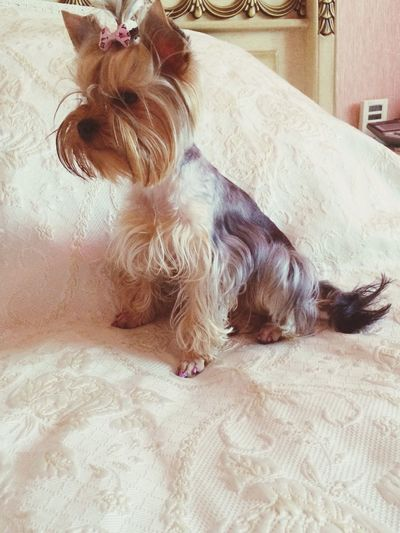 Му little girl) Yorkshire Terrier Follow Me Beautiful Esmiralda
