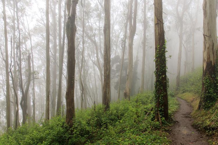 Eucalyptus forest cloud at mount sutro open space preserve