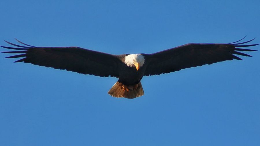 Flying Blue Bird Animals In The Wild Spread Wings One Animal Clear Sky Animal Wildlife Bird Of Prey No People Day Animal Themes Outdoors Sky Bald Eagle