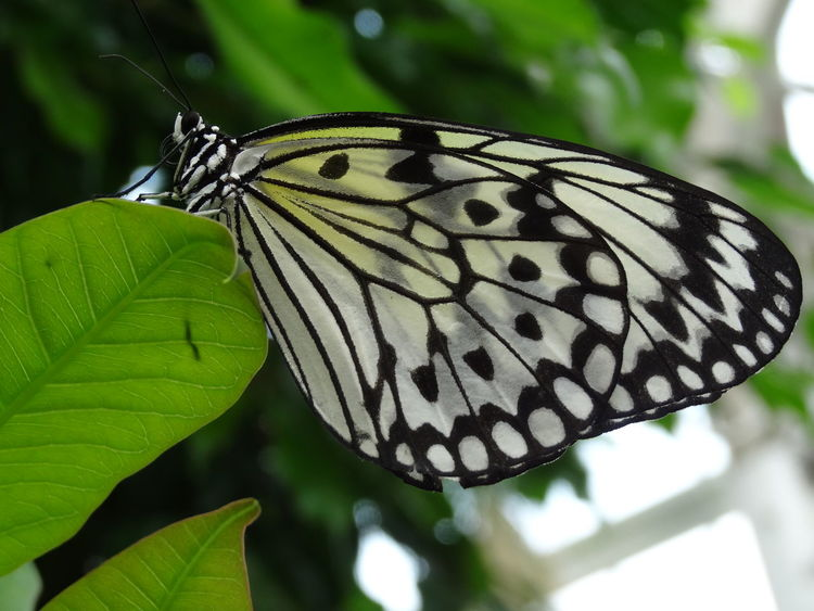 Black And White Butterfly Butterfly - Insect Butterfly, White Close Up Nature Close Up Photography Close-up Green Color Insect Photography Nature