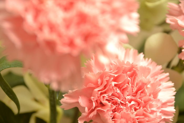 Background Focus Blooming Carnation Carnation Flowers Carnations Flower Focus On Background Nature No People Pink Pink Pink Carnation Pink Carnations Pink Color Selective Focus