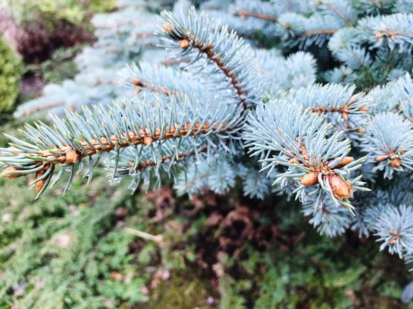 Plant Tree Growth Branch Beauty In Nature Nature Close-up Coniferous Tree Pine Tree Focus On Foreground Day Cold Temperature Pinaceae Tranquility Winter Frozen Needle - Plant Part Outdoors No People Ice