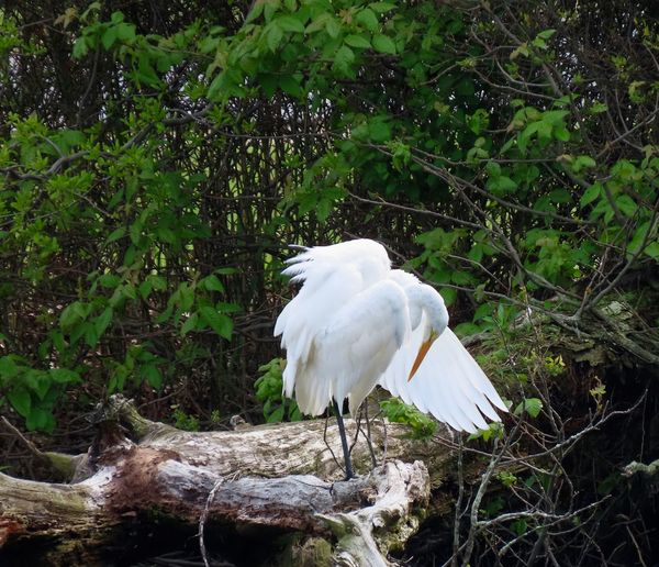 """My Best Photo great heron """"bowing """" wings spread perched on a bare tree limb white feathers surrounded by trees Birds of EyeEm beauty in nature Bird Animal Themes Animal Wildlife My Best Photo My Best Photo"""