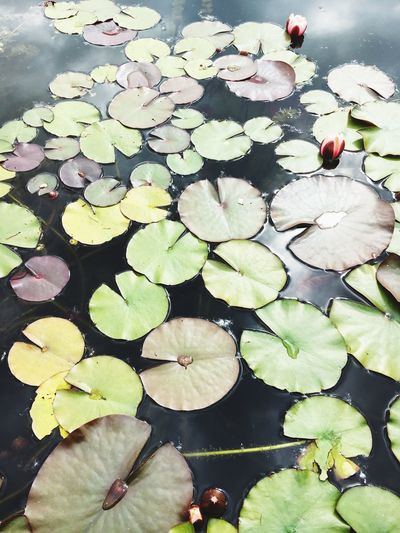 Water Floating On Water Beauty In Nature Floating Nature Lotus Water Lily Petal No People Flower Water Lily Lily Pad Leaf Pond Lotus Freshness Outdoors Day Plant Growth High Angle View First Eyeem Photo