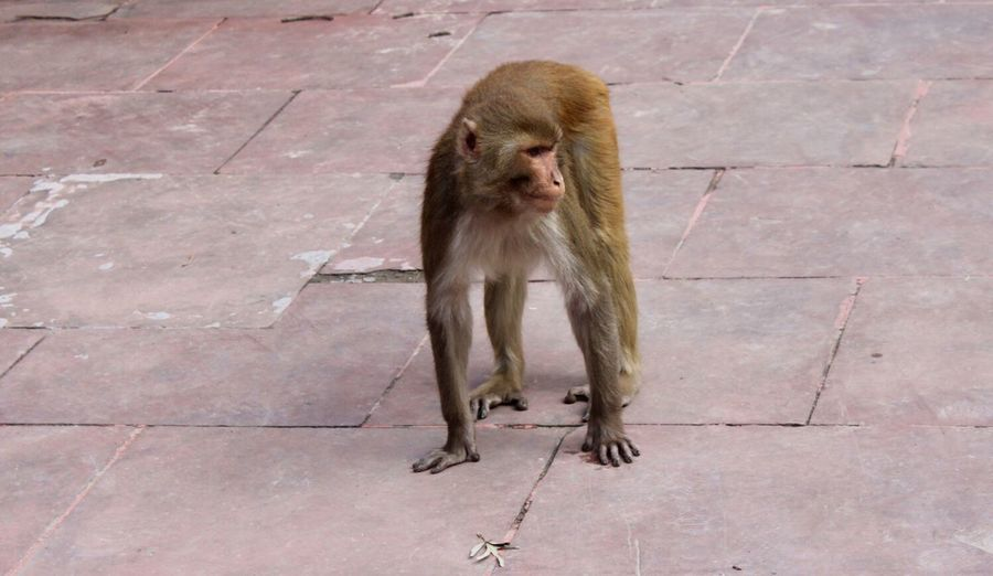 Macaque Primate Mammal One Animal Animals In The Wild Vertebrate Animal Wildlife Day