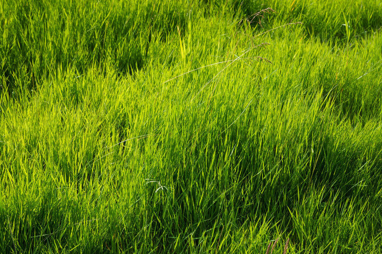 Green Color Agriculture Backgrounds Beauty In Nature Cereal Plant Day Field Freshness Grass Green Color Growth Kontrast Nature No People Outdoors Padock Rural Scene Warm Light Wheat