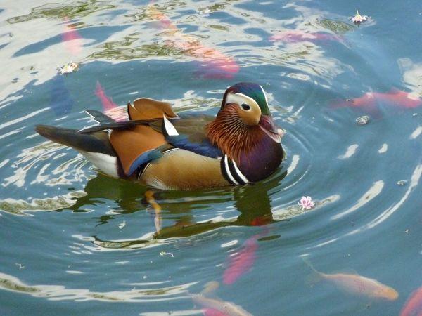 Beautiful duck on shimmering water EyeEmNewHere Water Swimming Animal Animal Themes Animal Wildlife Vertebrate Animals In The Wild Duck Lake Mandarin Duck Nature No People Multi Colored Bird