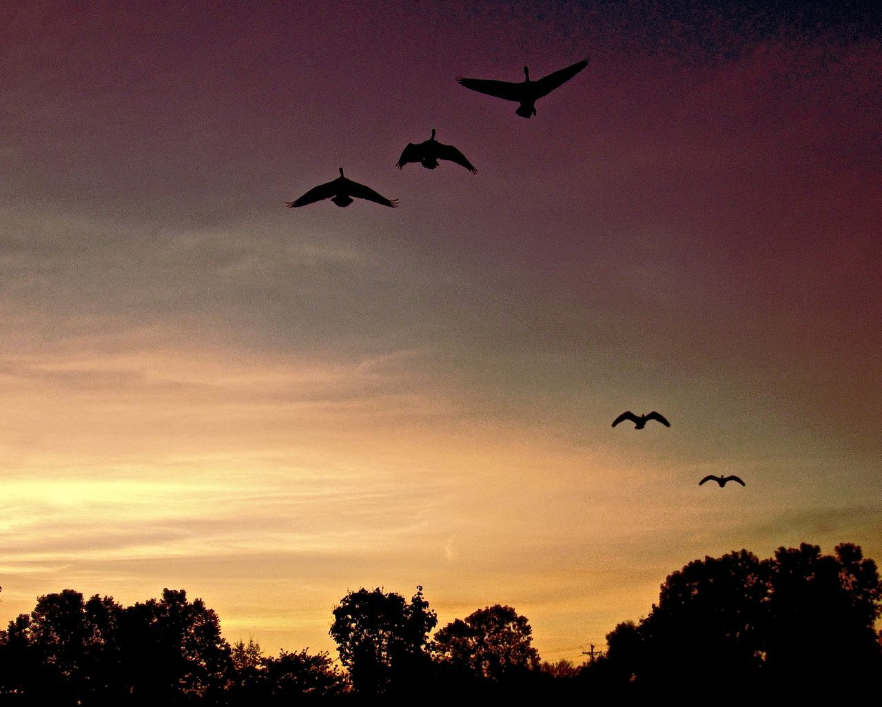 flying, bird, sunset, animals in the wild, silhouette, animal themes, mid-air, spread wings, animal wildlife, nature, wildlife, beauty in nature, low angle view, sky, outdoors, no people, scenics, tree, day