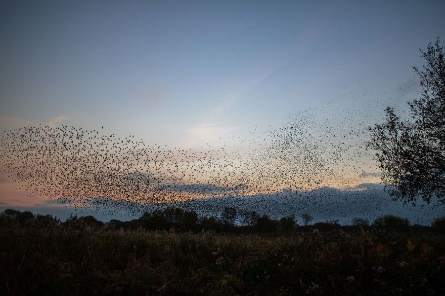 Sunset Sky Flying Large Group Of Animals Nature No People Outdoors Beauty In Nature Animal Themes Day Somerset Murmuration Of Starlings Flock Of Birds