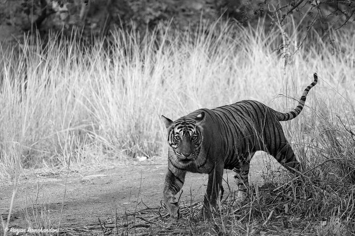 A visibly pregnant tigress at Ranthambore. Good news for the population of the Bengal tigers. Natgeotravel Natgeo BBCTravel BBC Discoverychannel Wildlife Tigers Dudla