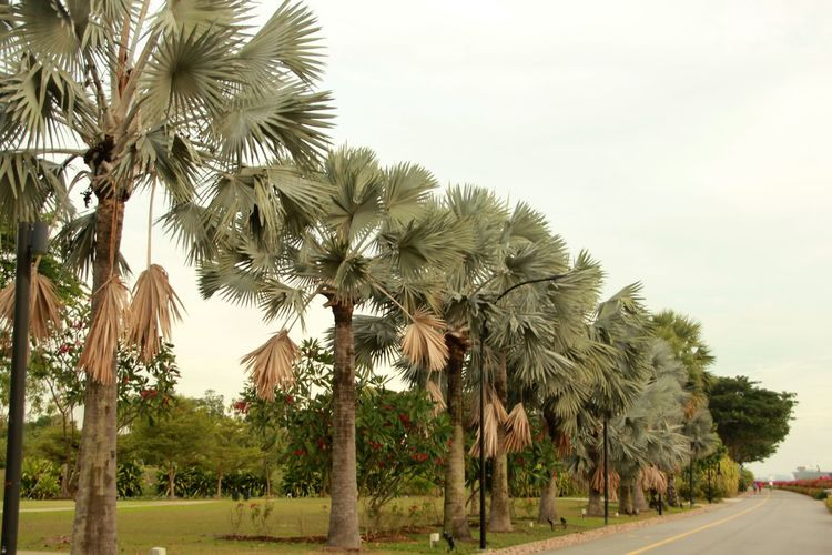 Row of Bismark Palms lining the road in Gardens by the Bay Beauty In Nature Bismark Palm Diminishing Perspective Landscape Nature Palm Tree Road Tranquil Scene Tranquility Tree Tree Trunk Treelined
