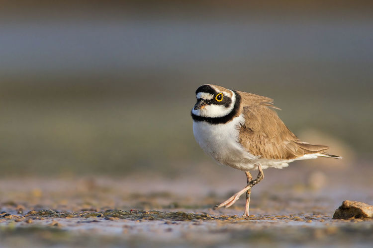 Side View Of Little Ringed Plover On Field
