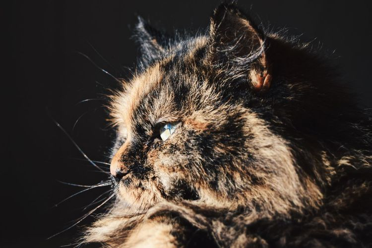 Bella Domestic Cat One Animal Animal Themes Pets Domestic Animals Feline Whisker Mammal Close-up No People Indoors  Studio Shot Black Background Persian Cat  Day
