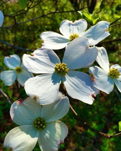 Beautiful Dogwood flowers Flowers, Nature And Beauty Dogwood Dogwood Blossom Dogwoodflowers
