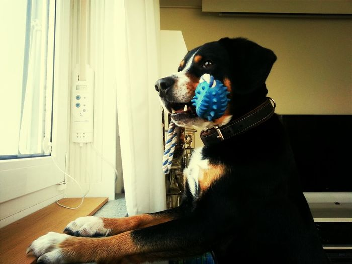 Portrait of dog with toy in mouth