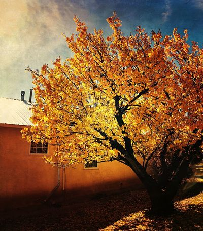 """Back Streets Of Corona"" Highlight of Autumn color at a home on the back streets of the tiny village of Corona, New Mexico. Tree Autumn Nature Beauty In Nature Building Exterior No People Scenics Autumn Leaves Autumn Colors Fall Beauty Fall Colors Architecture Newmexicophotography Newmexico NewMexicoTRUE New Mexico Autumn"