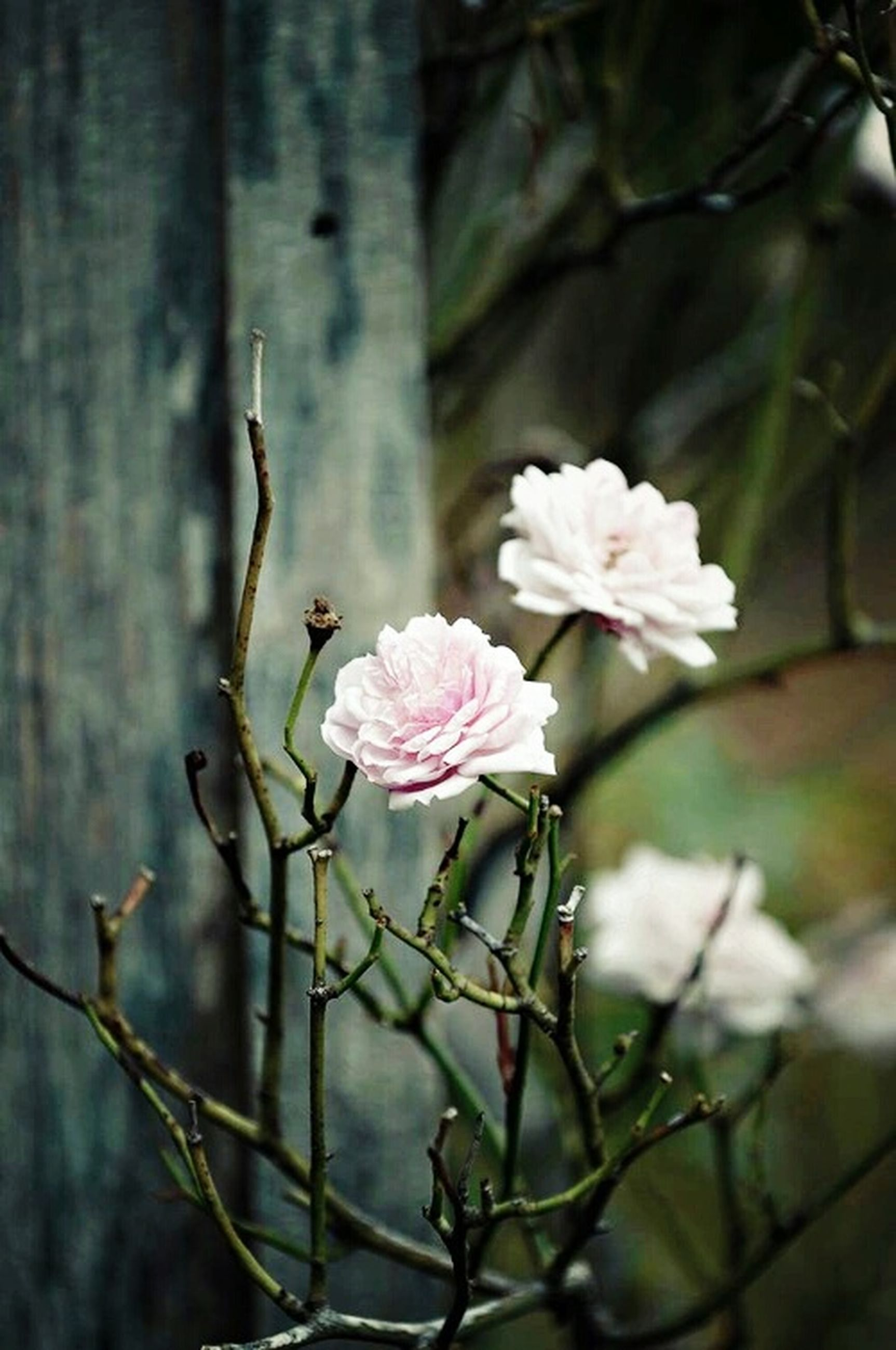 flower, growth, freshness, fragility, branch, focus on foreground, petal, beauty in nature, close-up, nature, blossom, stem, tree, plant, twig, blooming, flower head, in bloom, white color, bud