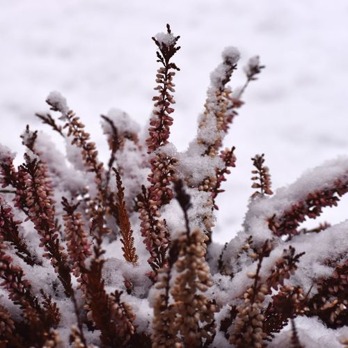 Close-up of snow covered plants on field