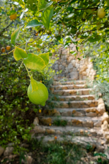 Rustic Agriculture Architecture Beauty In Nature Branch Close-up Day Focus On Foreground Food Fruit Green Color Green Lemon Growth Land Leaf Lemon Lemon Tree Nature No People Outdoors Plant Plant Part Rustic Style Selective Focus Tree