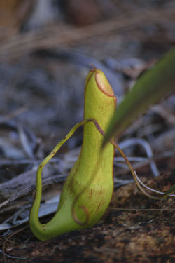 Kantung Semar Kantungsemar Kantong Semar Pitcherplant Pitcher Plants Pitcher Plant Nepenthes  Nepenthe  Nephentes Green Color Leaf Animal Themes Outdoors Close-up Nature No People Carnivora