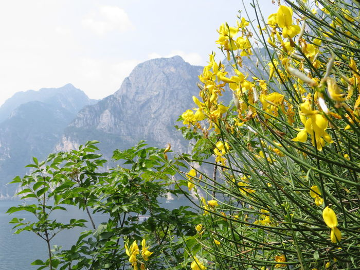 Beauty In Nature Broom Day Flower Flowering Plant Freshness Growth Mountain Mountain Range Nature No People Outdoors Plant Scenics - Nature Yellow