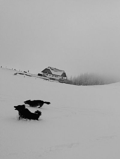 Nature No People Animals In The Wild Cold Temperature Outdoors Beauty In Nature Animal Themes Snow Fun Dog Life Winter Snow Dog Running Dog Speed Welcome To Black The Great Outdoors - 2017 EyeEm Awards Dogs Of EyeEm Dogs Enjoying Life Chiens Mondains BLACK DOGS! ❤ Hund Dogwalk Running Free Black And White Friday