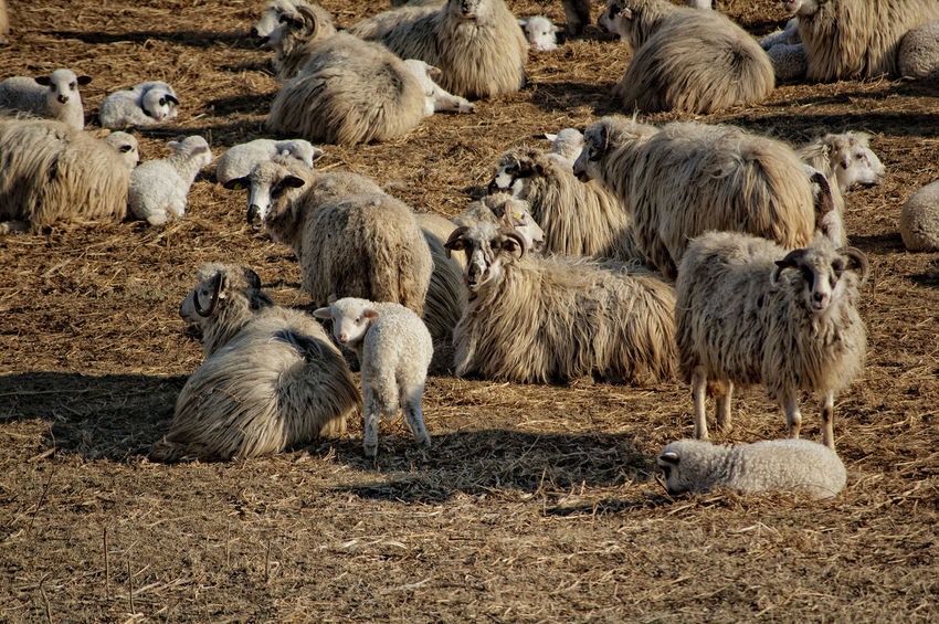 Sheeps family Agriculture Animal Animal Themes Animals In The Wild Day Domestic Domestic Animals Field Flock Of Sheep Group Of Animals Herbivorous Herd Land Large Group Of Animals Livestock Mammal Nature No People Outdoors Sheep Vertebrate