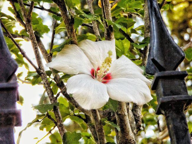 White Flower Flowers White Outside Natchez Outdoors Close-up Rod Iron