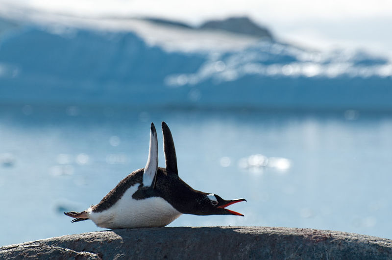 Close-up of penguin lying on rock