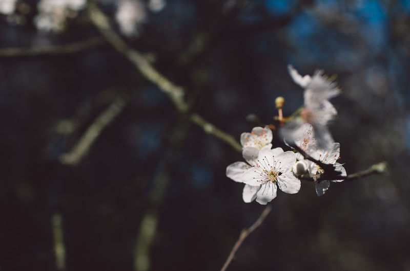 Plant Flower Fragility Flowering Plant Beauty In Nature Freshness Vulnerability  Close-up Growth Tree Focus On Foreground Nature Day White Color Branch Blossom Springtime No People Twig Flower Head Cherry Blossom Outdoors Pollen Plum Blossom Softness Springtime Decadence