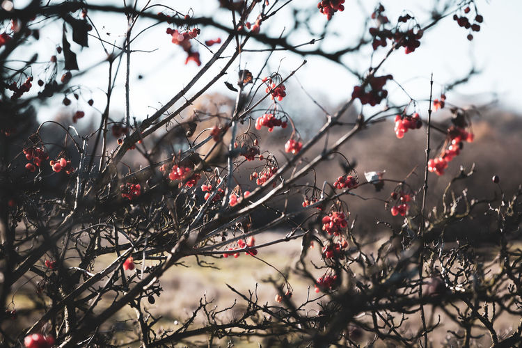 Branch Tree Fruit Plant Berry Fruit Healthy Eating Growth Beauty In Nature Focus On Foreground No People Food Nature Day Rowanberry Outdoors Selective Focus Cold Temperature Freshness EyeEmNewHere