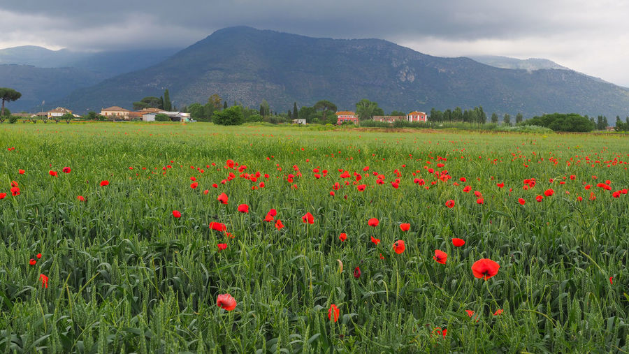 Red poppies on field by mountains against sky