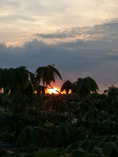 Close-up of plants growing on land against sky during sunset