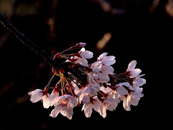 さくら 桜 Nikon P7700