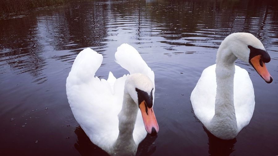 Animals In The Wild Swan Lake Beak Water Bird Animal Wildlife Animal Themes Water Togetherness Swan Couple White Color Outdoors Nature Day Bird No People