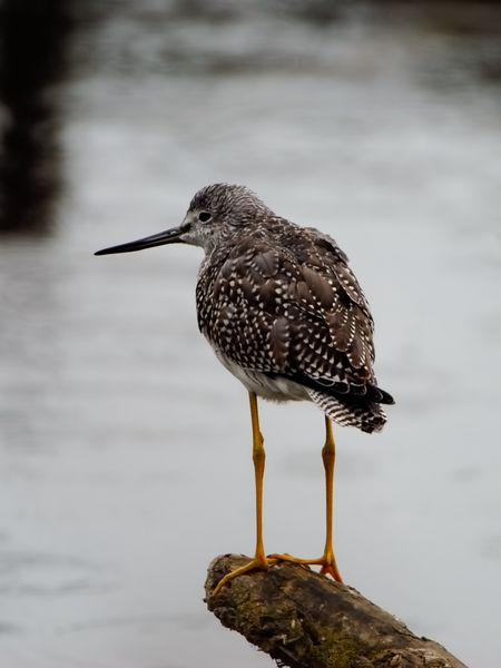 Sandpiper standing on a moss covered log. Wildlife habitat Area, Mt Vernon , Washinton Birds Of EyeEm  Birdwatching Long Legs Animal Themes Animal Wildlife Animals In The Wild Beak Bird Brown Bird Close-up Day Focus On Foreground Lake Nature No People One Animal Outdoors Perching Sandpiper Water