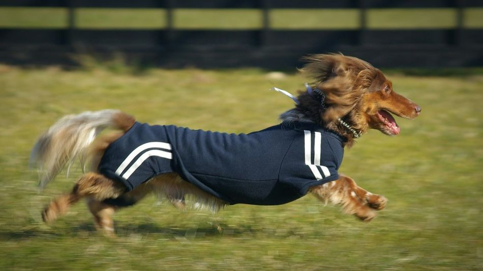 Athleisure Dog❤ Dog Dogslife Athlete Run Hunting Dachshund Sweatshirt Dog Running Japan Exercise Dog Walking Dog Love Dogphoto