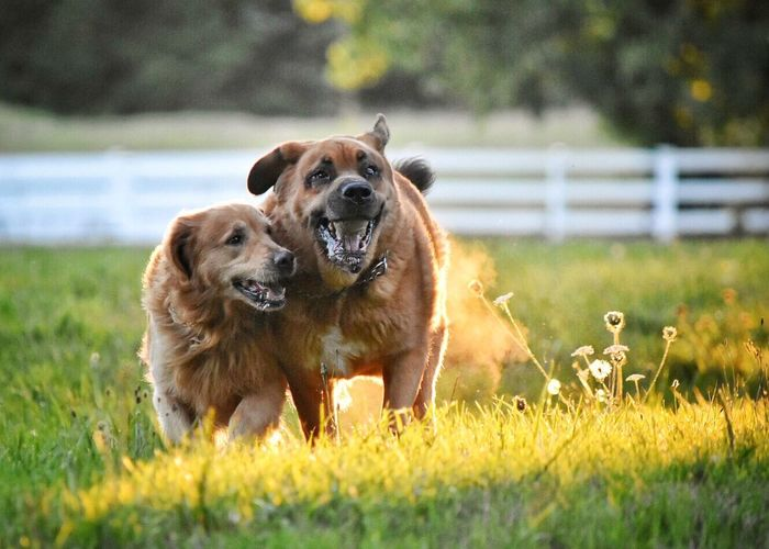Domestic Animals Pets Dog Animal Themes Grass One Animal Mammal Front View Selective Focus Grassy Focus On Foreground Curiosity Field Brown Animal Animal Head  Day Green Color Outdoors Looking Field Grass Running Happiness