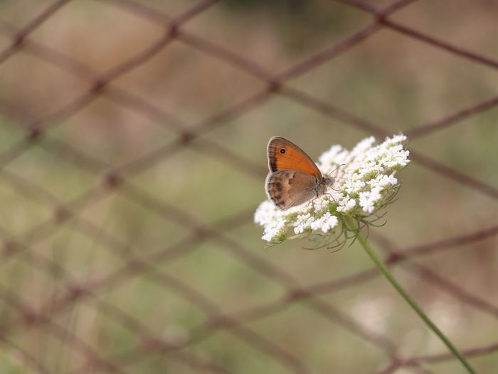 #EyeEm Nature Lover #eyembestshot Flower Defocused Insect Chainlink Fence Close-up Animal Themes Barbed Wire Confined Space Prison Bars Butterfly - Insect Flower Head Symbiotic Relationship Pollination Animal Antenna EyeEmNewHere