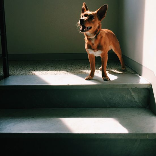 Dog Standing On Steps At Home
