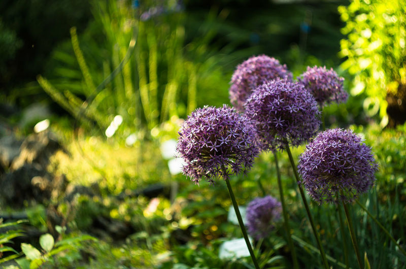 Beauty In Nature Botany Close-up Day Field Flower Flower Collection Flower Head Flowers Focus On Foreground Fragility Freshness Green Color Growth Nature No People Outdoors Plant Purple Sunlight
