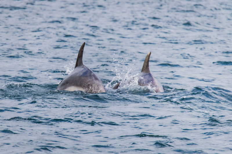a young dolphin protected by two adults in the bay of islands Baby Bay Of Islands Travel Animal Animal In The Wild Animal Themes Animal Wildlife Animals In The Wild Aquatic Mammal Dolphin Mammal Marine Nature New Zealand No People Outdoors Sea Swimming Three Underwater Vertebrate Water Waterfront Young Dolphin The Great Outdoors - 2018 EyeEm Awards